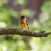 Black-headed -Grosbeak- Photo-bird