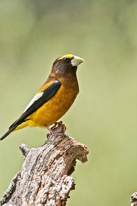 Black-headed -Grosbeak- Photo-bird
