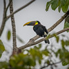 Black-Mandibled Toucan (Ramphastos ambiguus )