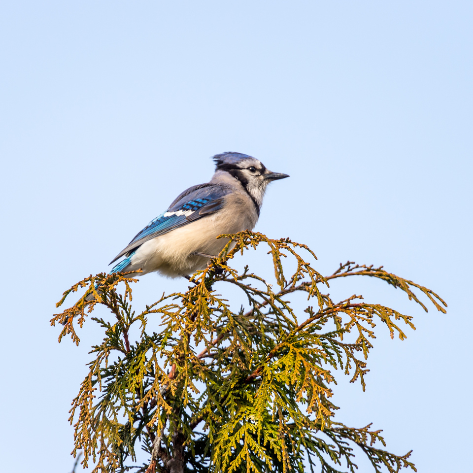 The blue jay is a passerine bird in the family Corvidae, native to North America. It is resident through most of eastern and central United States, although western populations may be migratory.