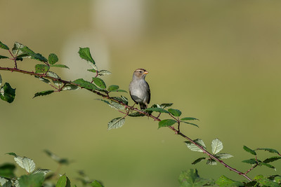 Cassins-bird-photo-sparrow
