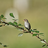 Cassins-bird-photo-sparrow