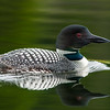 comon_loon-swimming-bird-wildlife