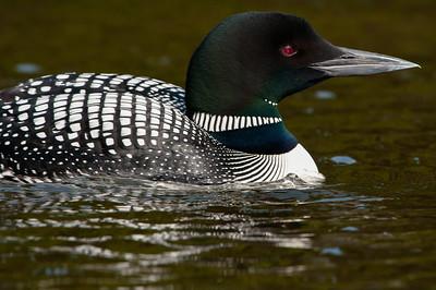 comon_loon-swimming-bird-wildlife