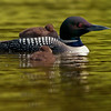 The common loon  (Gavia immer) -chick-bird-swimming-