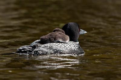 The common loon  (Gavia immer) -chick-bird-swimming-
