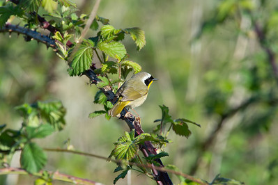 Common Yellow Throat