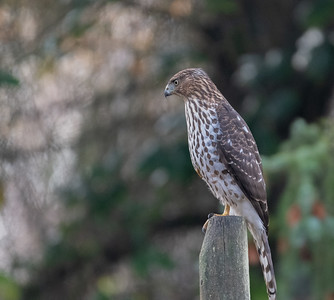 Cooper's hawk (Accipiter cooperii) is a medium-sized hawk native to the North American continent.