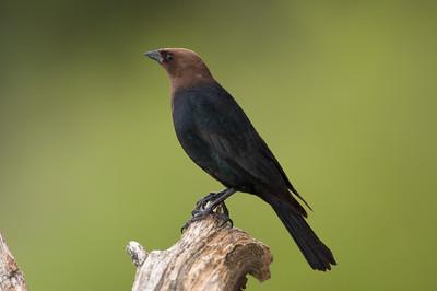 Brown-headed Cowbird, Molothrus ater,