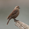 Brown-headed Cowbird, Molothrus ater,