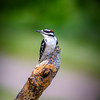 Downy-Woodpecker-tree-bird-