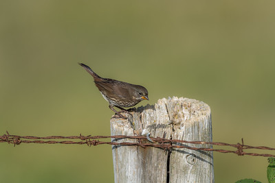 fox_sparrow-bird-wildlife-