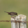 fox_sparrow-bird-wildlife-