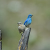 Mountain -bluebird -(Sialia currucoides) photo