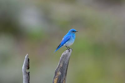 Mountain -bluebird -(Sialia currucoides) photo