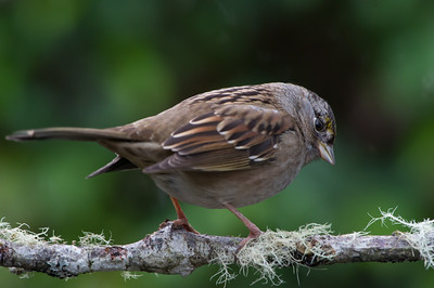 Golden-crowned -Sparrow -(Zonotrichia Atricapilla) -photo