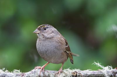 Golden-crowned -Sparrow -(Zonotrichia Atricapilla) -photo