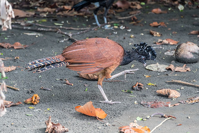 Great Curassow (Crax rubra)  at the edge of the Costa Rican rainforest .