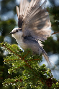 Grey -Jay -Wiskey -Jack- Photo-bird