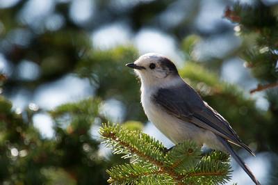 Grey -Jay -Wiskey -Jack- Photo-bird