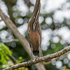 bare-throated-tiger-heron