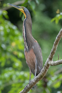 bare-throated-tiger-heron sit on a tree in the Costa Rican rainforest.