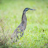 bare-throated-tiger-heron hunting along  the edge of the rainforest in Costa Rica