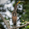 bare-throated-tiger-heron looking at the rainforest of  Costa Rica.