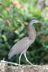 bare-throated-tiger-heron wlak along the egde of the Sierpe river in Costa Rica