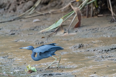 Blue Herons(Ardea herodias) can be found in the marshes and mangroves of places such as the Sierpe river in Costa Rica