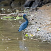 In Costa Rica, Blue Herons(Ardea herodias) can be found in the marshes and mangroves of places such as the Tortuguero Canals, the Terraba Sierpe Wetlands or the well-known retreat of many different migratory birds in Palo Verde National Park. The birds are also found around lakes or flooded meadows such as the Caño Negro Wildlife Refuge in the north of Alajuela Province, Heredia Province and Limon Province.