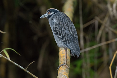 Yellow-crowned Night Heron (Nyctanassa violacea) at Sierpe river Costa Rica.