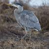 Blue Heron ( Ardea herodias) hunting in coastal marsh.
