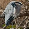 Blue Heron ( Ardea herodias)