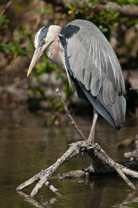 Blue Heron ( Ardea herodias) hunting in coastal marsh.