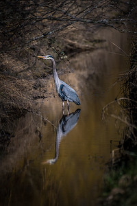 The great blue heron is a large wading bird in the heron family Ardeidae, common near the shores of open water and in wetlands over most of North America