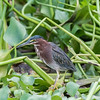 Green Heron (Butorides virescens ) along the banks of the Sierpe river Costa Rica.