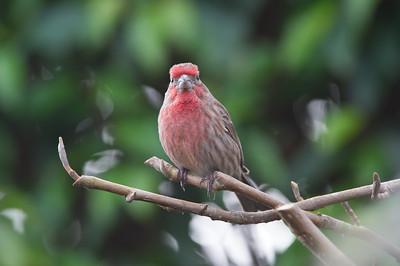House- Finch-bird-photo- wildlife-best