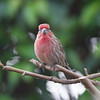House- Finch-bird-photo- wildlife-best