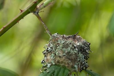 Rufous -Humming- Bird -Selasphorus -rufus- Photo-best