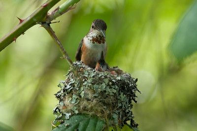 Rufous -Humming- Bird -Selasphorus -rufus- Photo-best