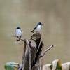 Mangrove Swallow (Tachycineta albilinea)