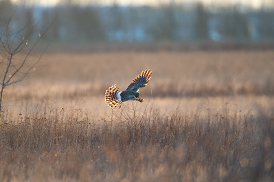 Northern Harriers fly low over the ground when hunting, weaving back and forth over fields and marshes as they watch and listen for small animals. They eat on the ground, and they perch on low posts or trees.