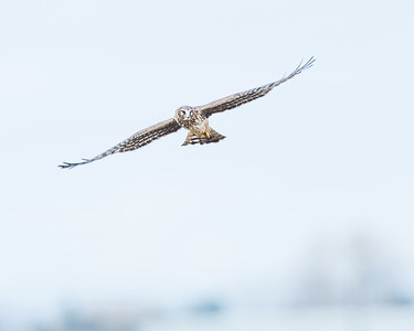 northern -harrier-bird-flying