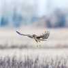 northern -harrier-bird-flying