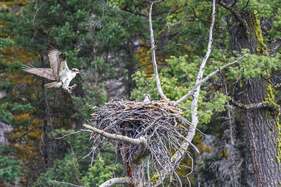 The osprey (Pandion haliaetus) — also called fish eagle, sea hawk, river hawk, and fish hawk.Lamar Valley, Yellowstone National Park USA.