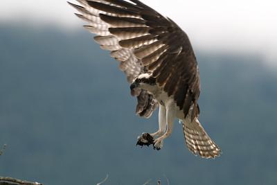 Osprey. Osprey (Pandion haliaetus) sitting on nest Brtitish Columbia