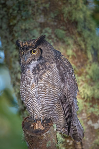 Great Horned Owl( Bubo virginianus ) perched on tree limb in the coastal forest of British Columbia.