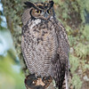 bird-photo-great-horned-owl-tree