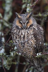 Long-eared Owls sleeping .